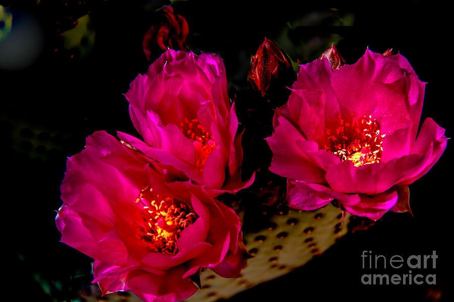 Arizona Photograph - Beaver Tail Trio by Robert Bales