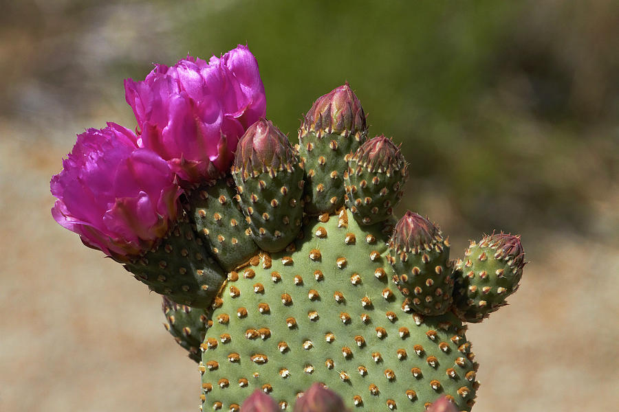 Alabama Hills Photograph - Beavertail Cactus In Flower, Found Only by David Wall
