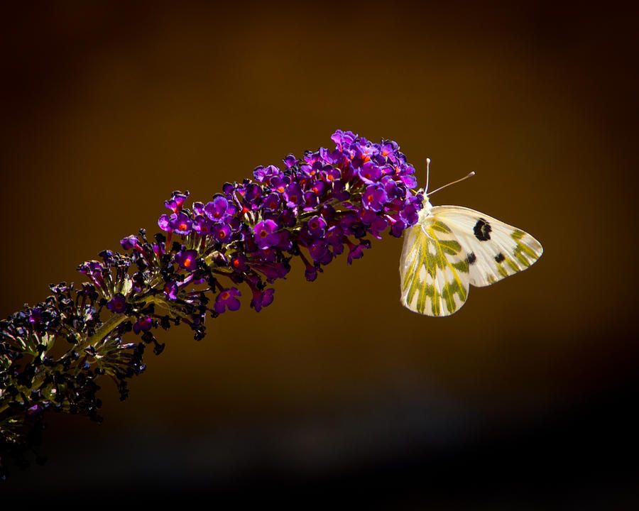 Butterfly Photograph - Beckers On Butterfly Bush Sparks Nevada by Janis Knight