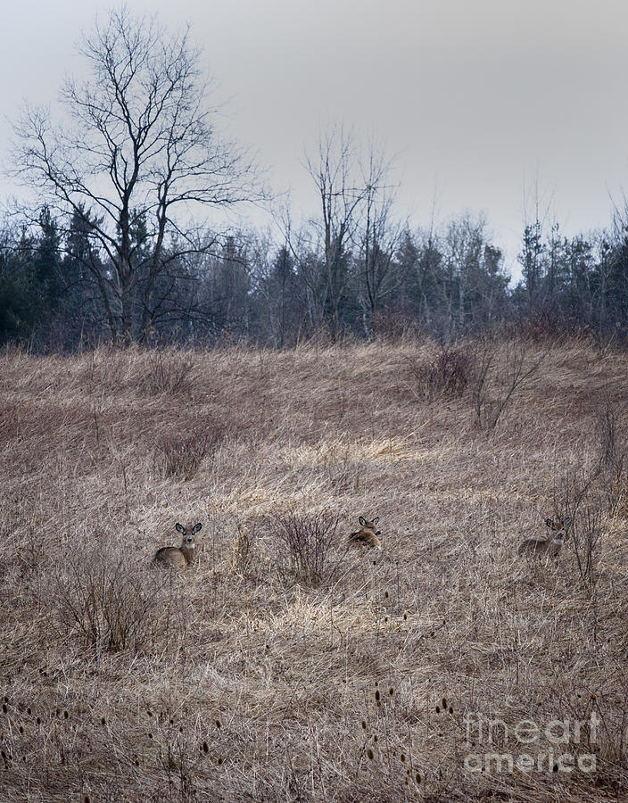 Whitetail Photograph - Bedded Whitetail Deer by Roger Bailey
