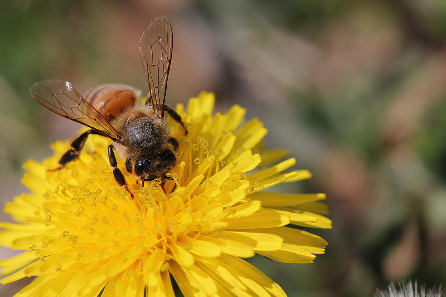 Bee Photograph - Bee And Dandelion by Lorri Crossno