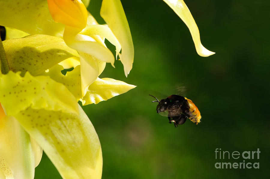 Color Photograph - Bee And Orchid by Oscar Gutierrez