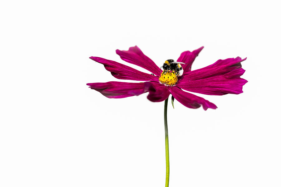 Animal Photograph - Bee At Work - Featured 3 by Alexander Senin