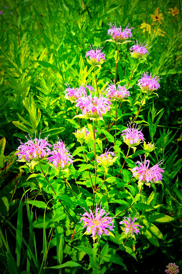 Flower Photograph - Bee Balm Of The Butterfly Gardens Of Wisconsin by Carol Toepke