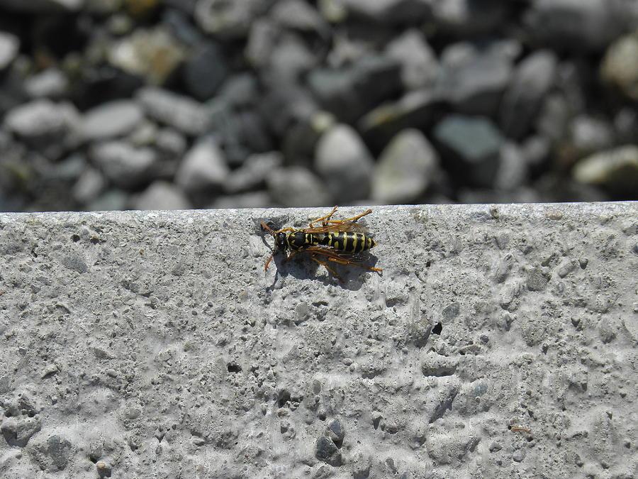 Bee Photograph by Charles Vana