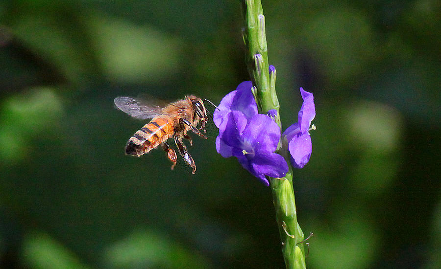 Bee Photograph by Dart and Suze Humeston