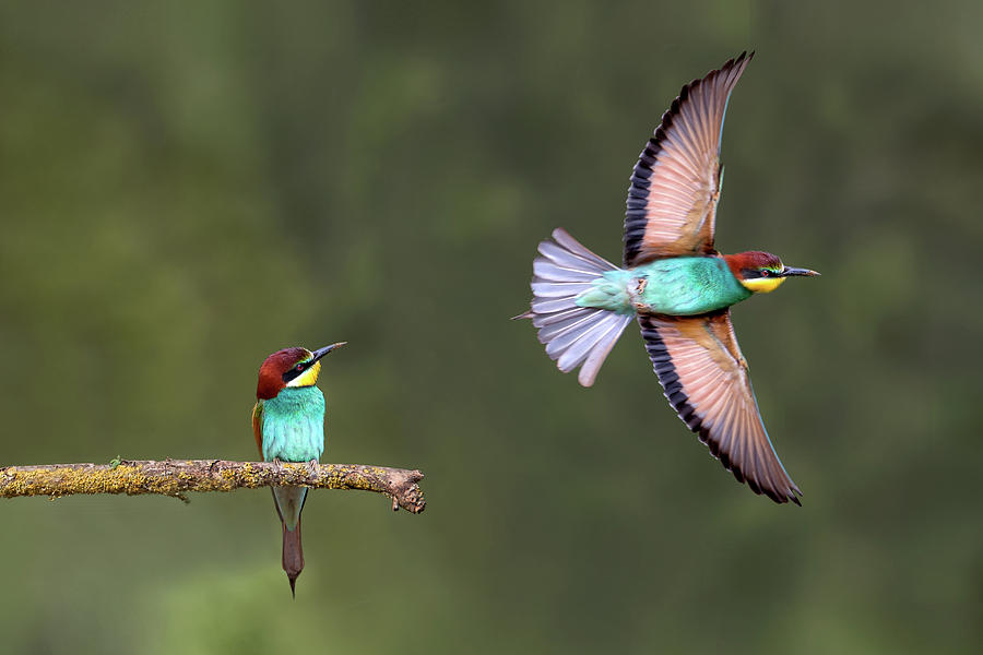 Bird Photograph - Bee-eater Going For Food by Xavier Ortega