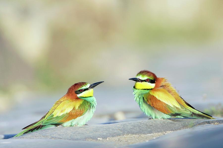 Bee-eater Photograph - Bee-eaters by Manuel Presti/science Photo Library