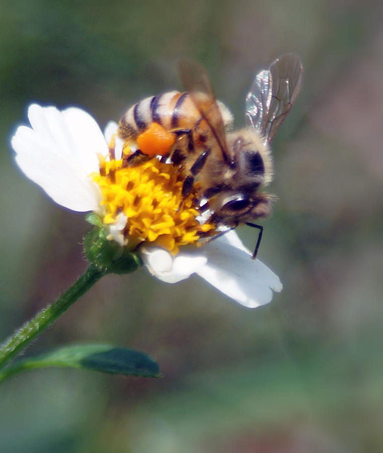 Pollen Photograph - Bee- Extracting Nectar by Miguel Hernandez