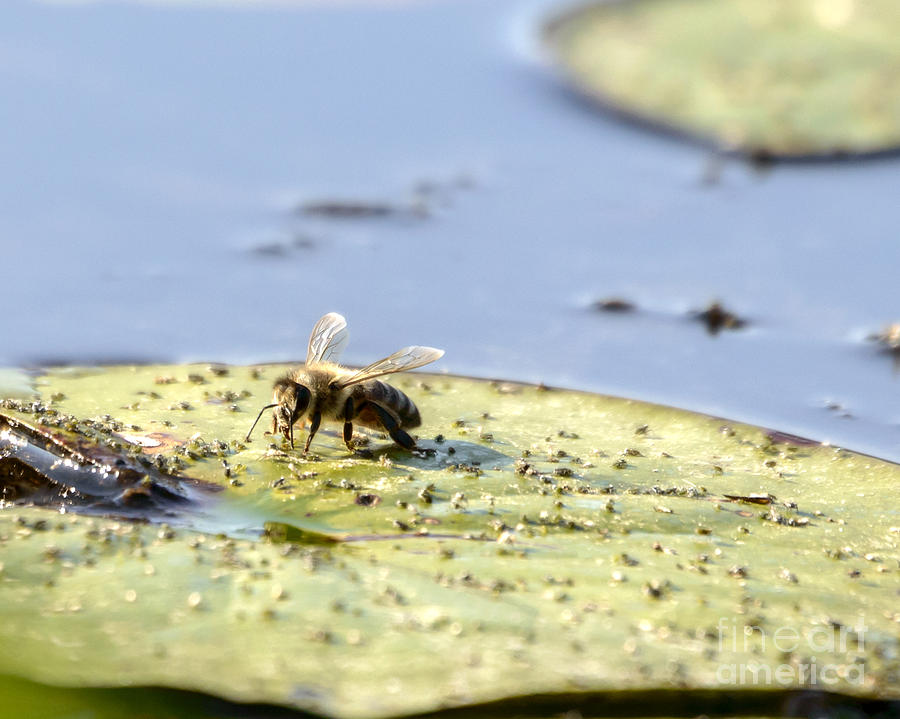 Bee Feeding on Lily Pad by Ilene Hoffman