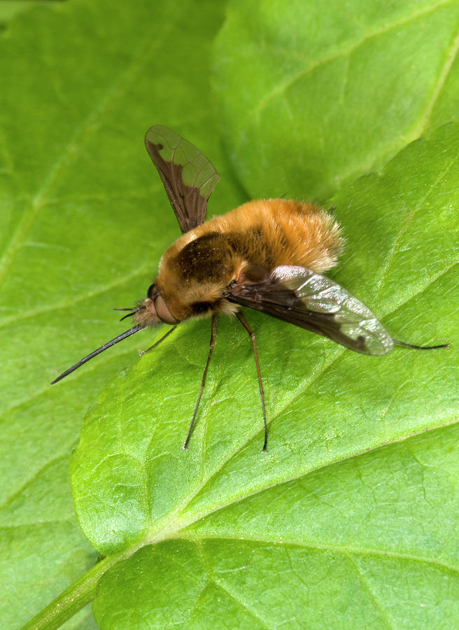 Insect Photograph - Bee-fly by Nigel Downer