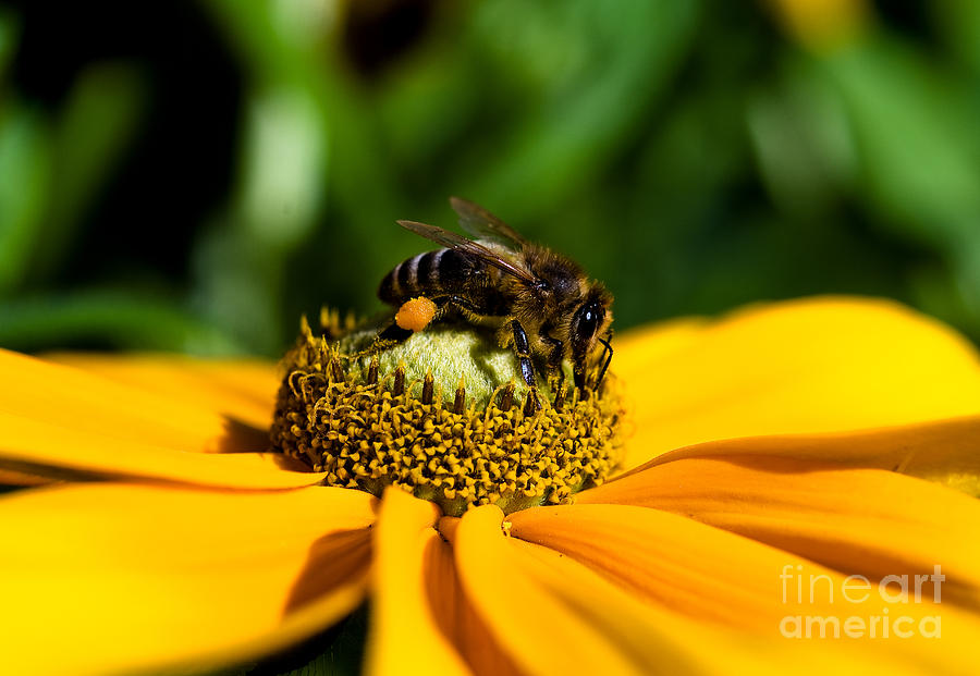 Bees Photograph - Bee Gathering Nectar by Terry Elniski