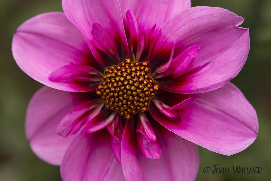 Dahlia Photograph - Bee Happy Dahlia by Joan Wallner