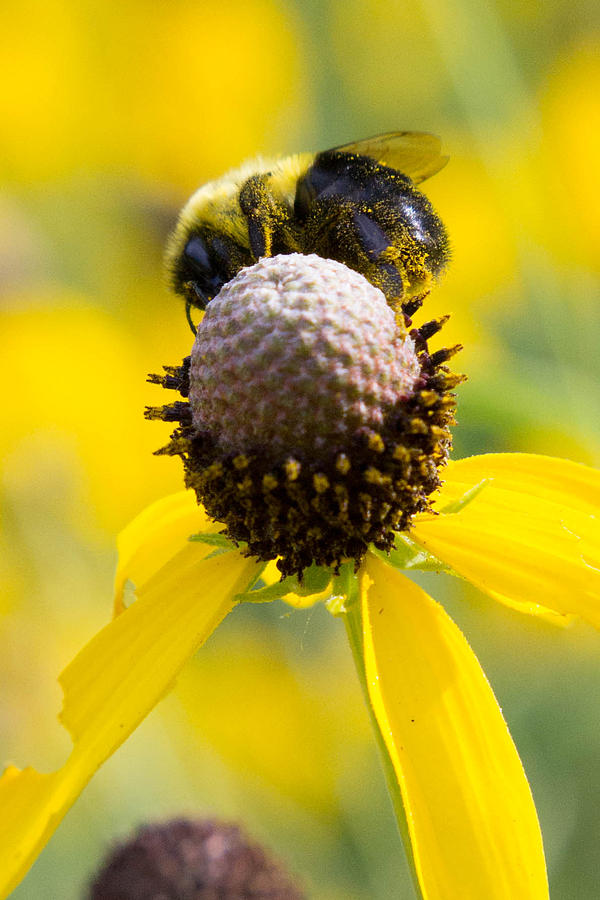 Bee Photograph - Bee-hind by Kimberly Ayars