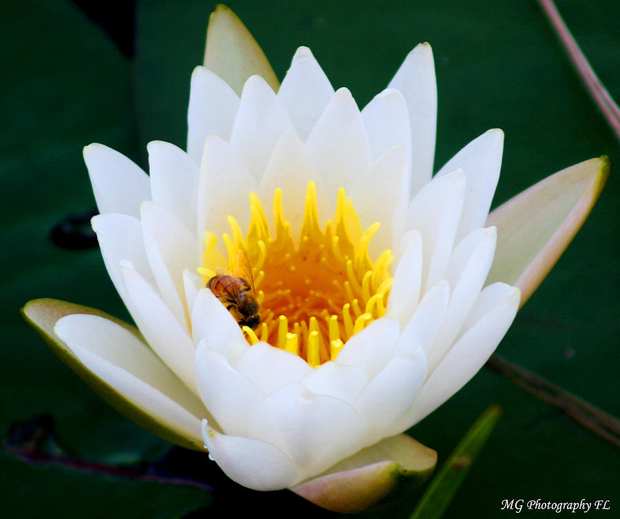 Lily Photograph - Bee In A Lily  by Marty Gayler
