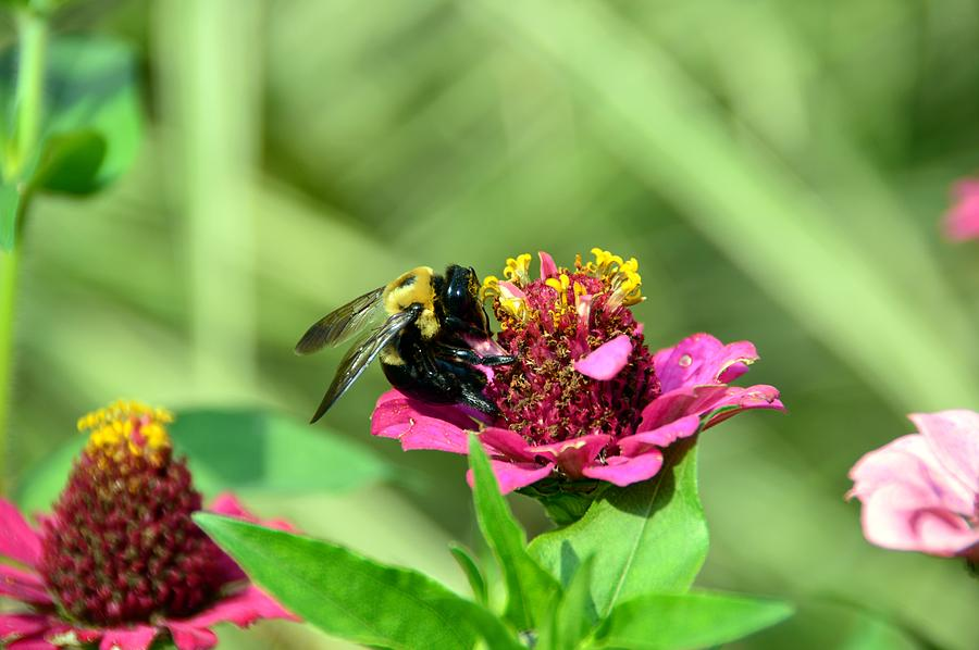 Bee Photograph - Bee in Bliss by David Earl Johnson