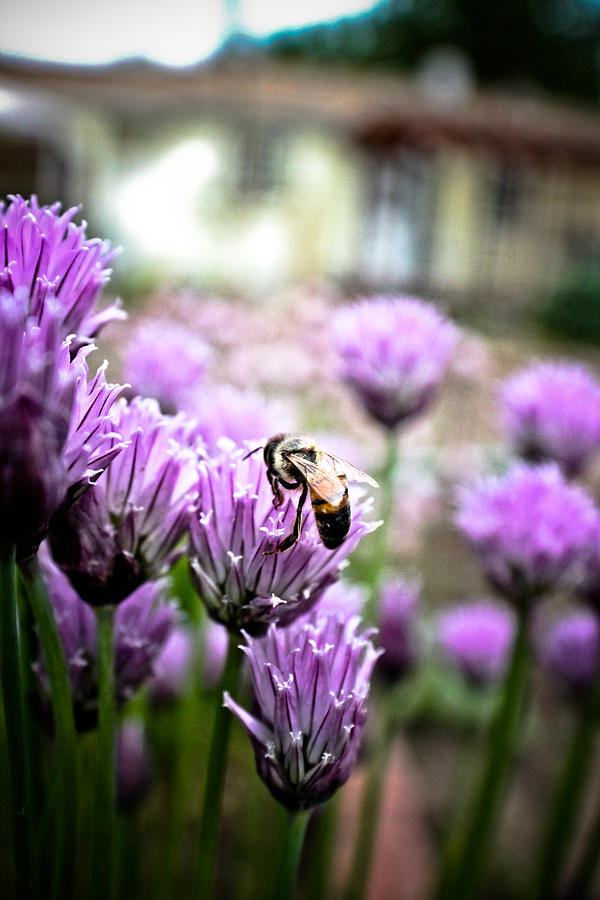 Bee Photograph - Bee In The Chives by Joel Loftus