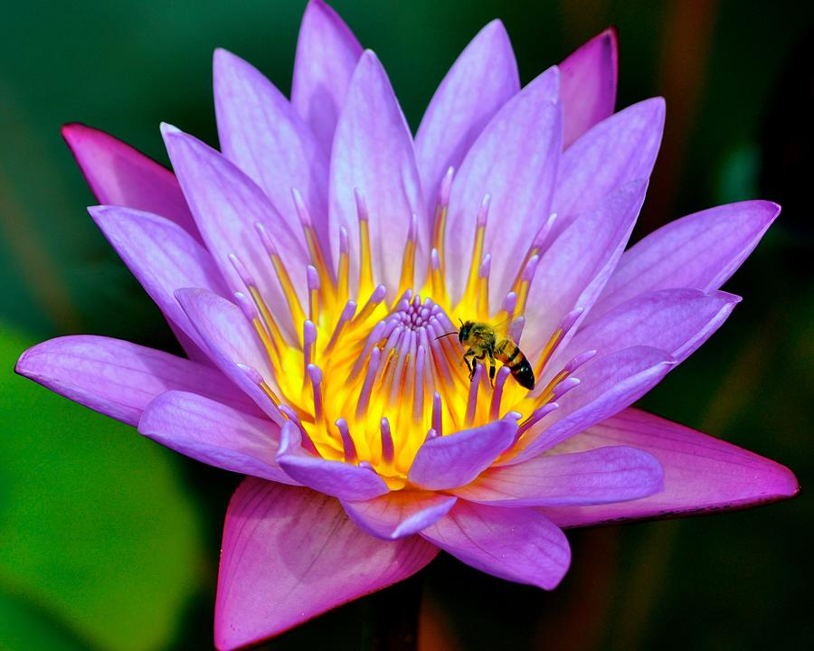 Beautiful Bee and Water Lily by Kristina Deane