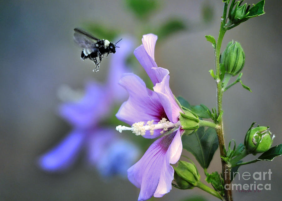 Rose Of Sharon Photograph - Bee Lavender by Nava Thompson