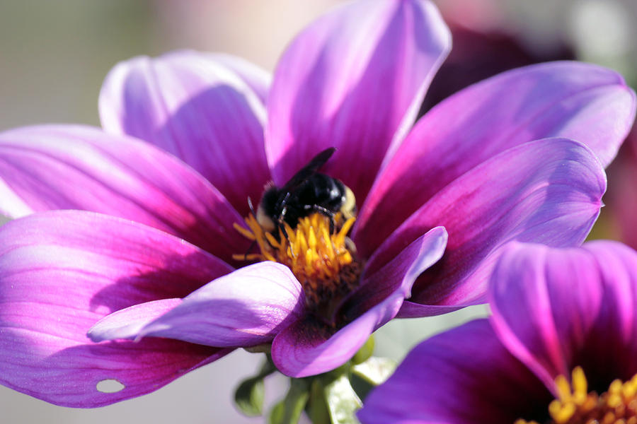 Bee On A Flower Photograph