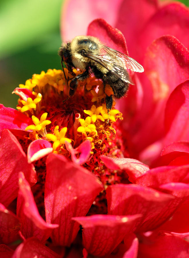 Zinnia Photograph - Bee On A Zinnia Flower by Optical Playground By MP Ray