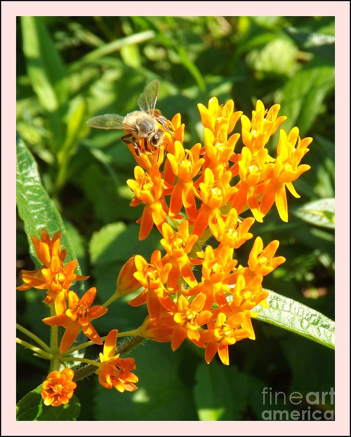 how to cut back butterfly weed