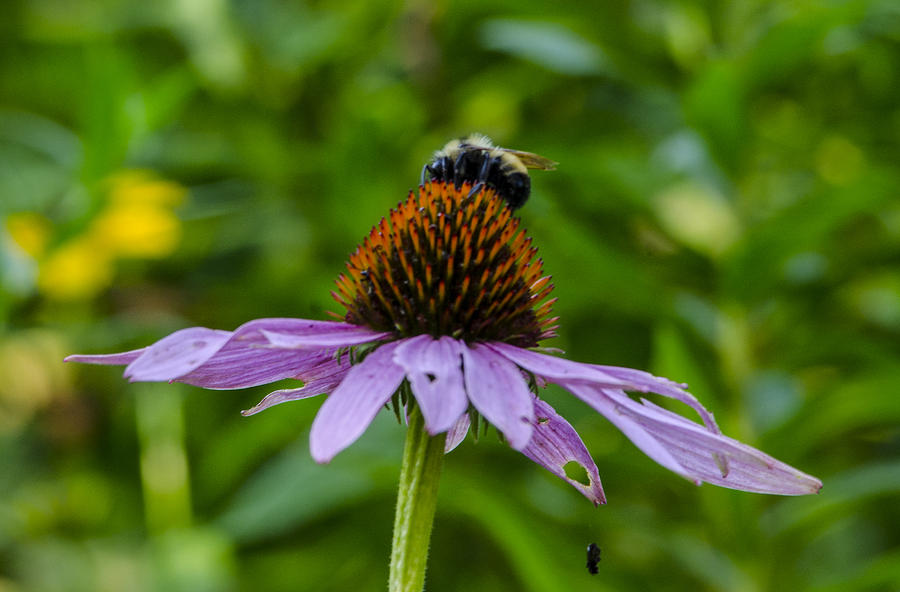 Bee On Cone Flower Photograph