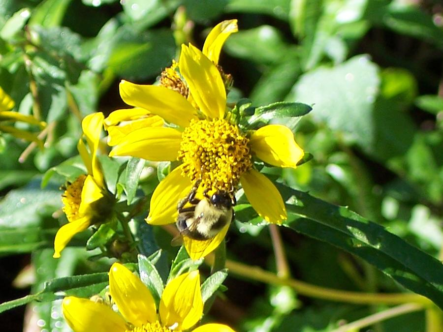 Bee Photograph - Bee On Flower by Michelle Miron-Rebbe