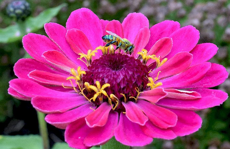 Bee On Fuschia Flower Photograph