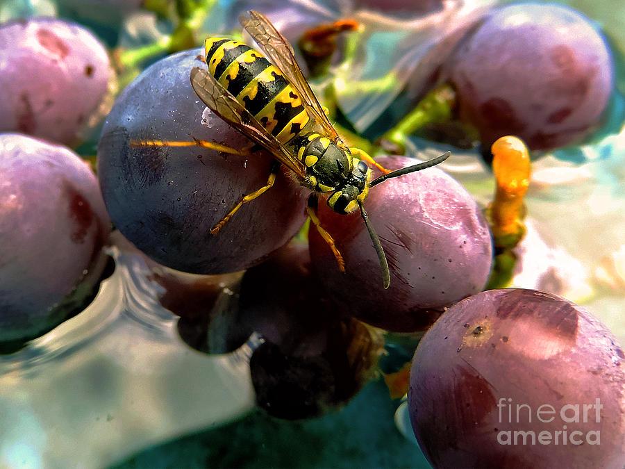2013 Photograph - Bee On Grape by Elvira Ladocki