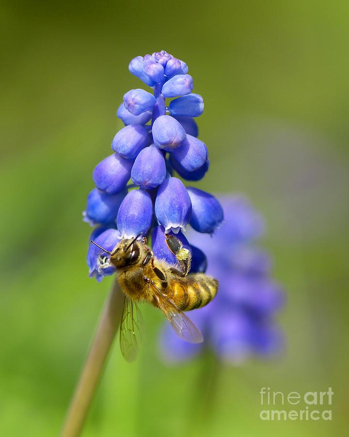 Bee Photograph - Bee On Grape Hyacinth by Sharon Talson