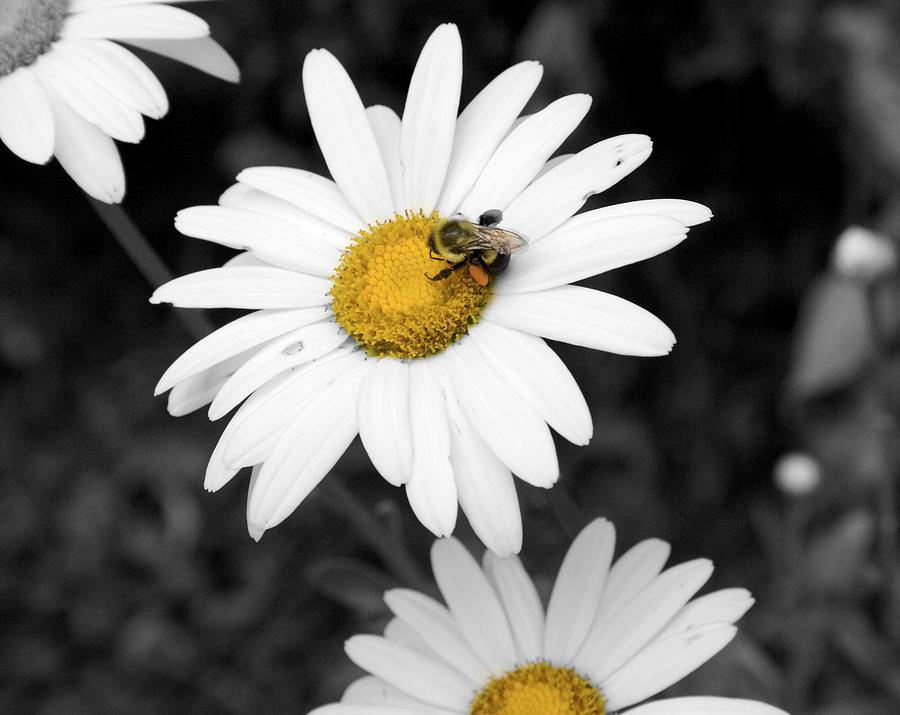 Flower Photograph - Bee On My Daisy by Kimberly Elliott