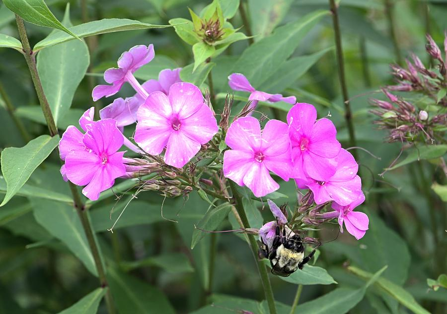 Bee Photograph - Bee On Pink Phlox by Andrew Miles