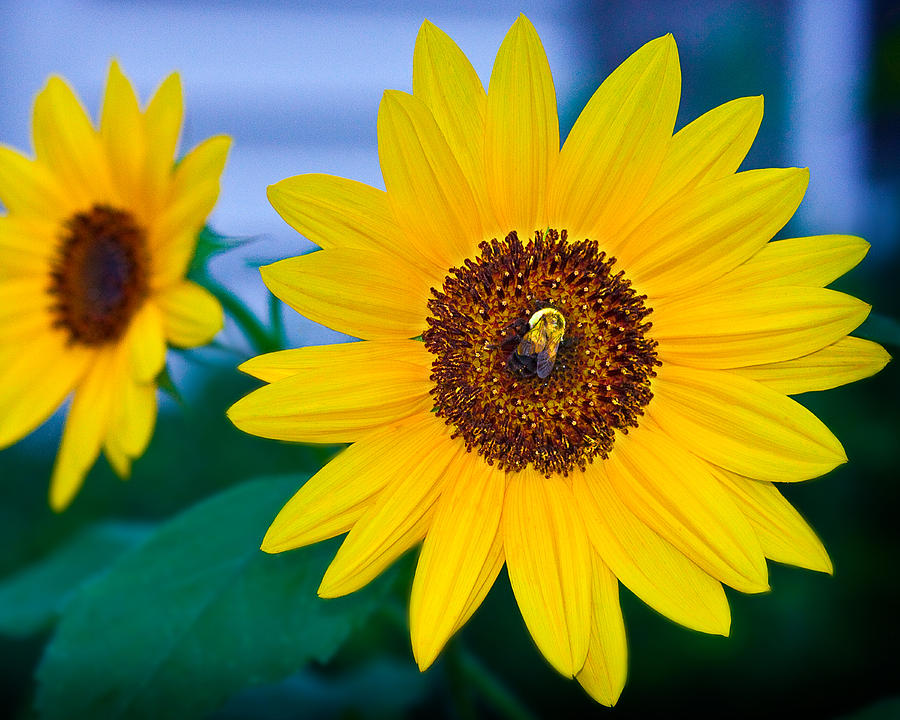 Sunflower Photograph - Bee On Sunflower by Michael Fisher