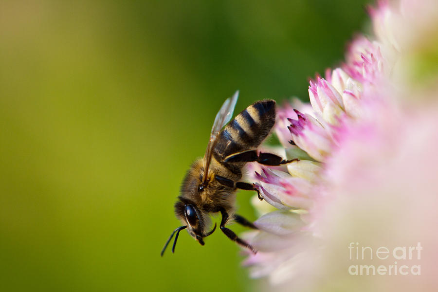 Animal Photograph - Bee Sitting On A Flower by John Wadleigh
