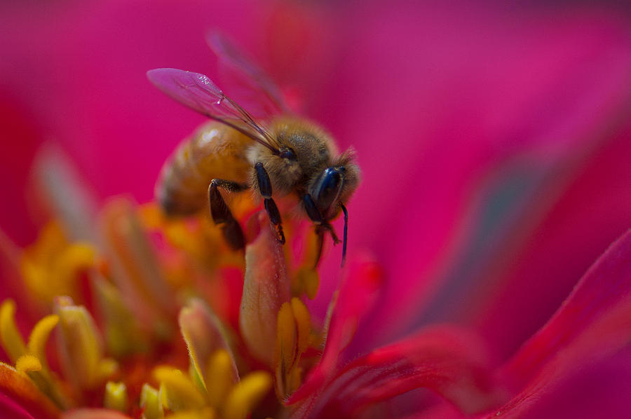 Indiana Photograph - Bee Within Flower by Sarah Crites