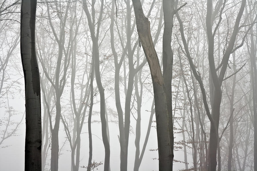 Beech Forest Photograph by Vidok