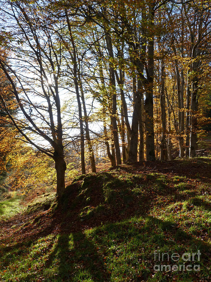 Beech Trees Photograph - Beech Trees - Autumn by Phil Banks