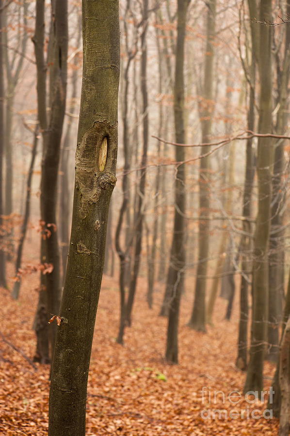 Atmospheric Photograph - Beech Wood In Autumn by Anne Gilbert