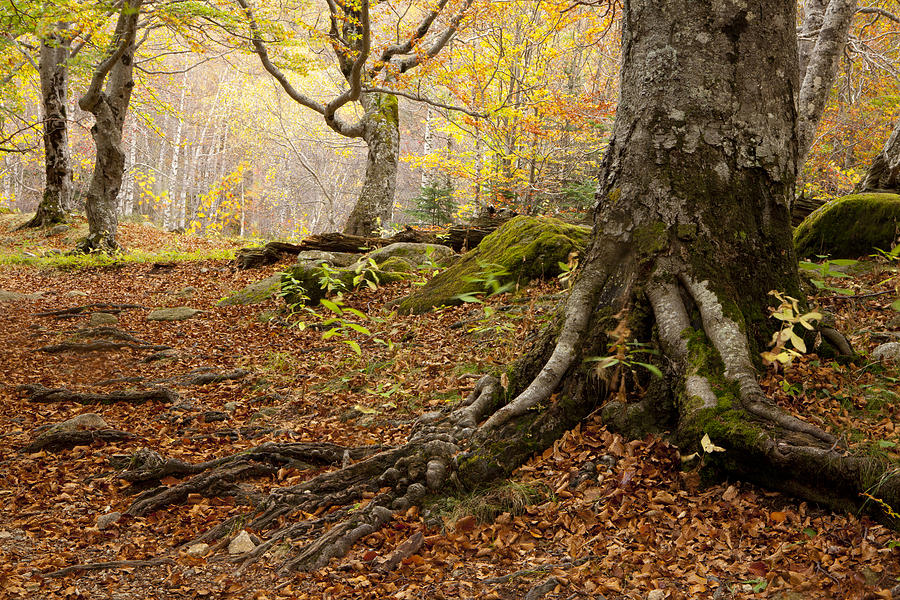 Aran Photograph - Beechwood by Javier Fores