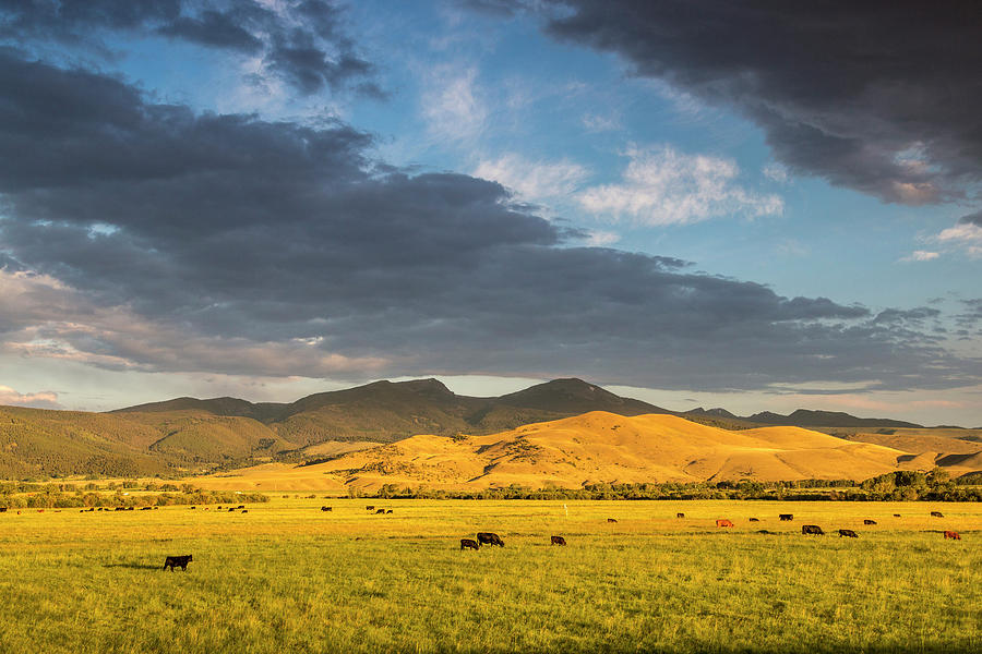 Agriculture Photograph - Beef Cattle Graze In Pasture At Sunrise by Chuck Haney