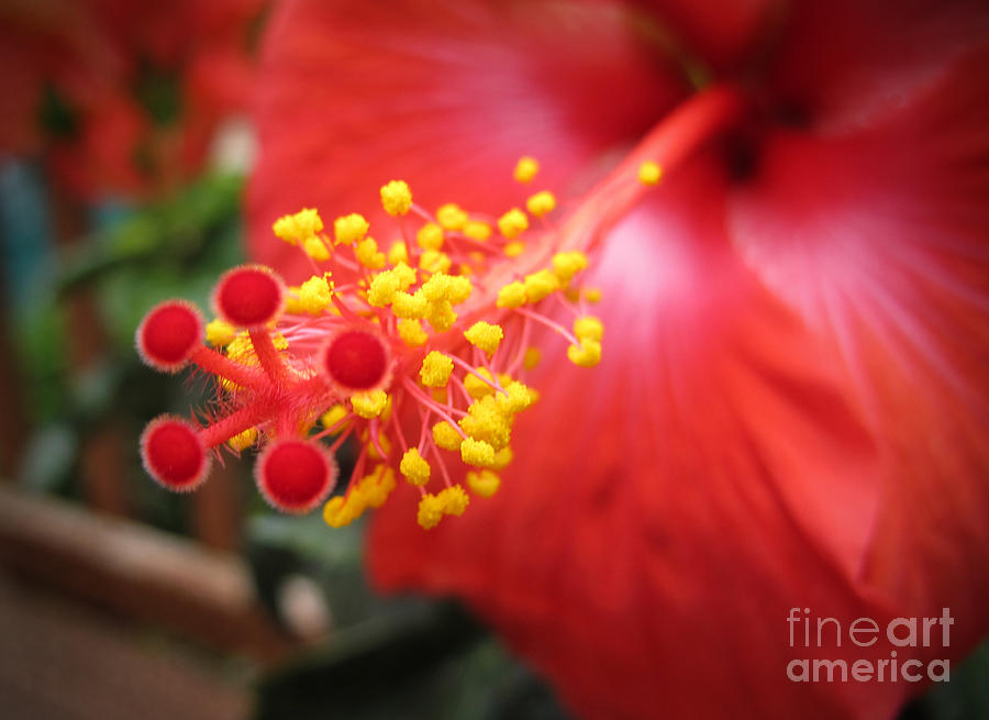 Hibiscus Photograph - Beelight by Arlene Carmel