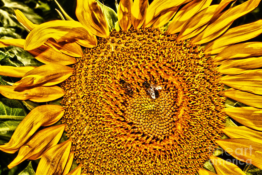 Flower Photograph - Bees On Sunflower Hdr by Robert Frederick