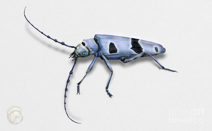 Beetle Of The Alps - Rosalia Longicorn - Rosalia Alpina - Rosalie Des Alpes - Alpebukk Painting