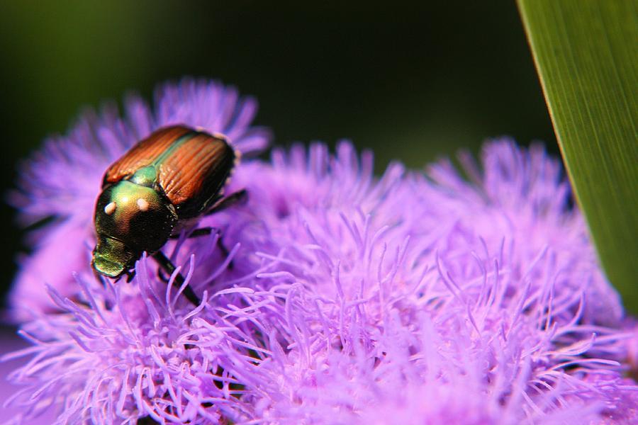 Flower Photograph - Beetle On A Flower by Jillian Gomez
