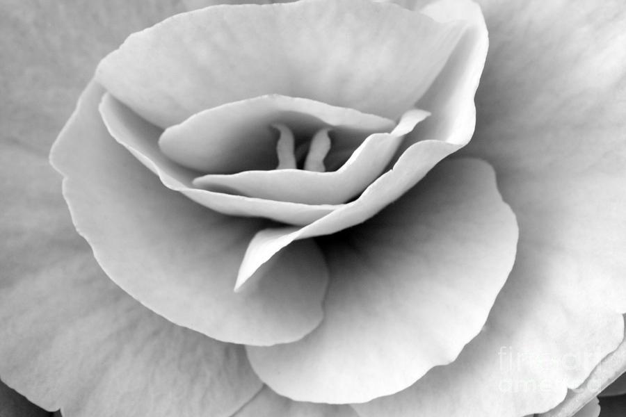 Macro Photograph - Begonia by Angela Bruno