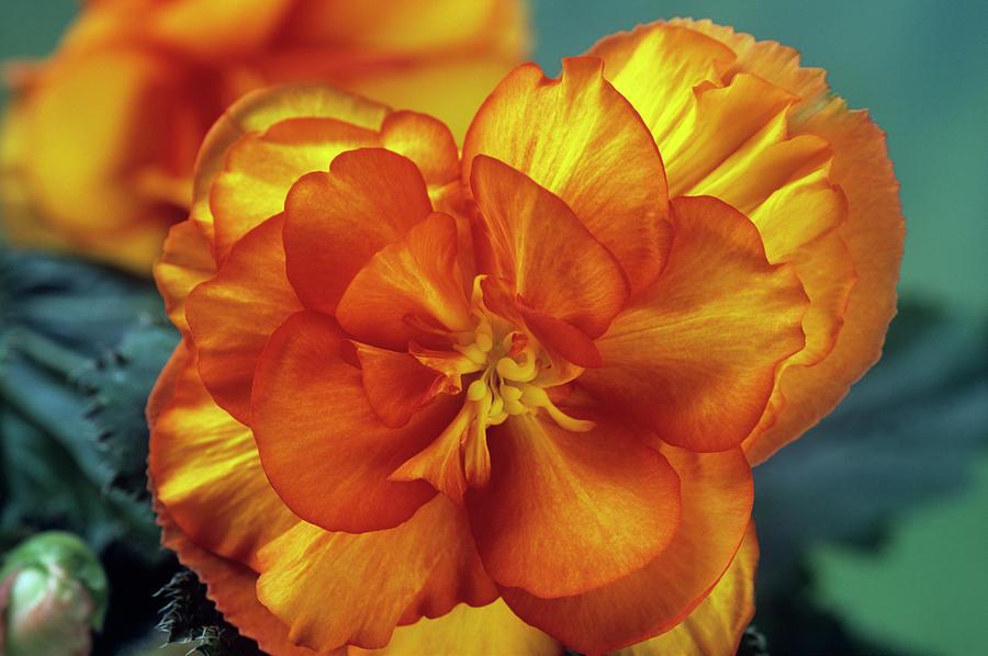 Begonia Photograph - Begonia (begonia Tuberhybrida picotee) by Ann Pickford/science Photo Library