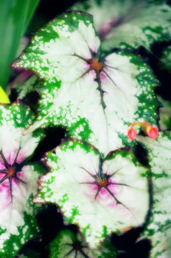 Begonia Photograph - Begonia Leaves (begonia uncle Remus) by Maria Mosolova/science Photo Library