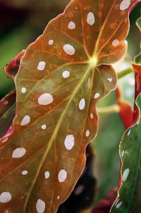 Begonia Photograph - Begonia Maculata wightii by Maria Mosolova