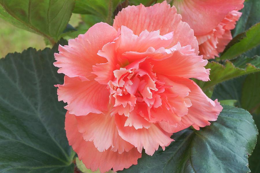 Samba Photograph - Begonia X Tuberhybrida samba by Ann Pickford/science Photo Library